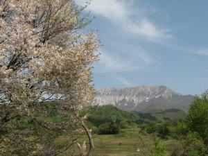 大山桜と大山