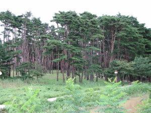 草堂の松林