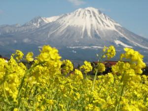大山と菜の花
