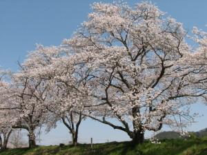 法勝寺川の桜