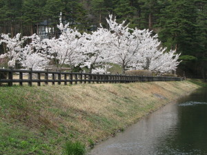 大成池の桜