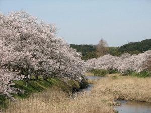 法勝寺川堤防の桜