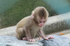 お猿の赤ちゃん