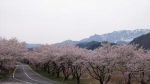 大山町豊房の桜並木