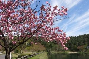 大成池の八重桜
