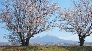 米子周辺の桜