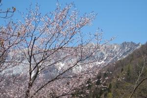 大山南壁と大山桜